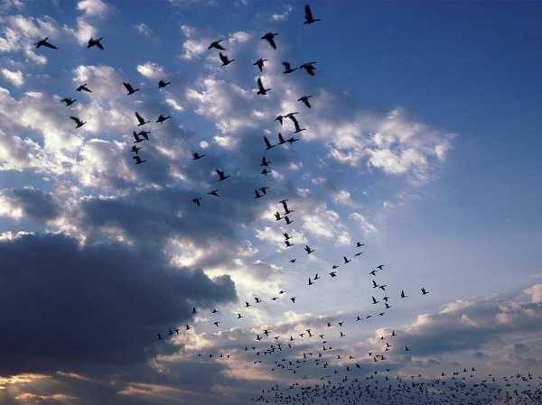 wild-geese.jpg